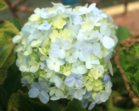 Beautiful Hydrangea flowers in the mountains