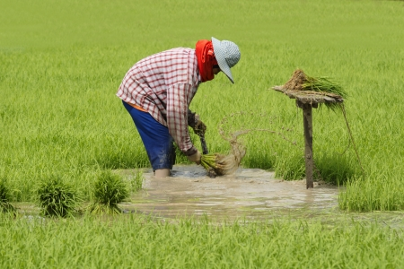 paddy field: Farmers prepare seedlings of rice on the paddy fields in Sing Buri Province of  Thailand Stock Photo