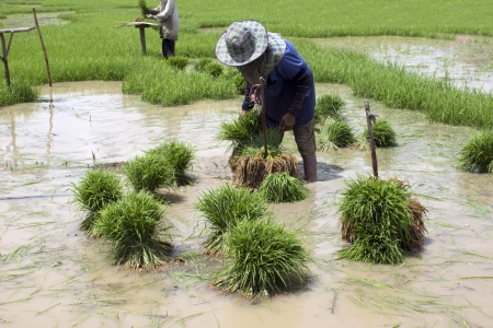 transplanting: Farmers working transplanting rice seedlings on the paddy fields in Sing Buri Province of  Thailand