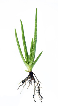 Fresh leaves of Aloe Vera with root isolated on white photo