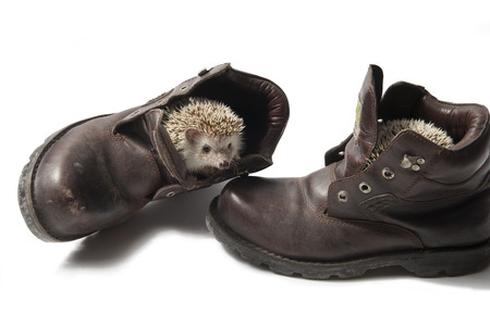 Hedgehog in shoes photo