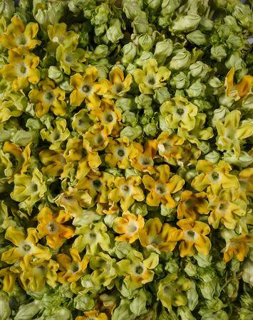cowslip: Cowslip flowers frash background