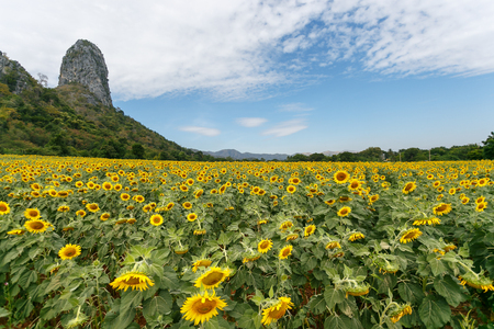 Sunflower  field on a sunny Day. Stock Photo