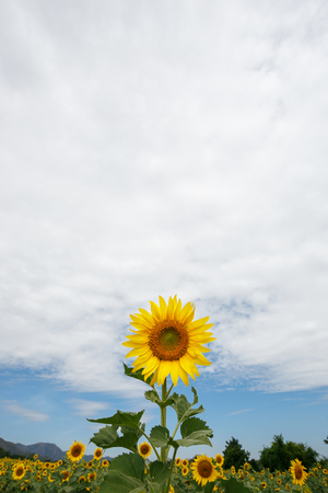 sunlight sky: Sunflower on space and sky background. Stock Photo