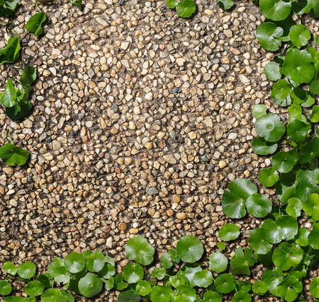 asiatica: Hydrocotyle [ centella asiatica ] on the bronw cement with stone flakes background Stock Photo