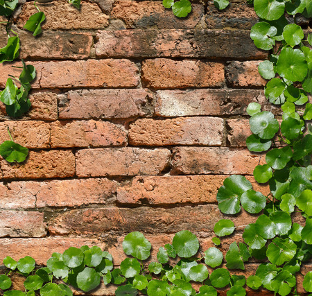 hindrance: Hydrocotyle  [ centella asiatica ] on the  old Brick wall background texture