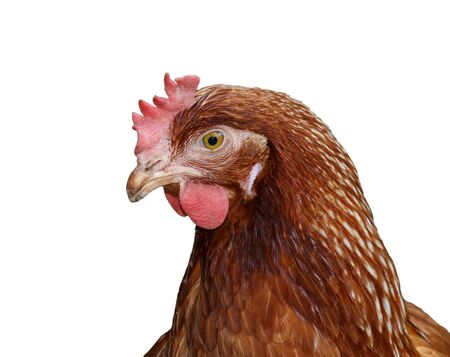 Brown head hen on white background, Isolated Stock Photo