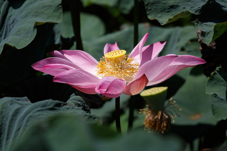 monet: beautiful lotus flower is complemented by the lotus leaf and hi contrast lighting Stock Photo
