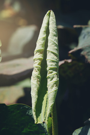 Beautiful Lotus leaves is complemented by the lotus leaf and hi contrast lighting and flare effect Stock Photo