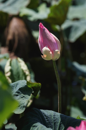 aquatic herb: beautiful lotus flower is complemented by the lotus leaf and hi contrast lighting Stock Photo