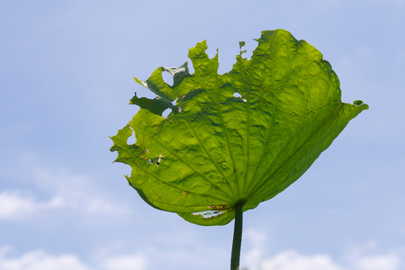 Beautiful lotus leaf that leaves tattered and blu sky background