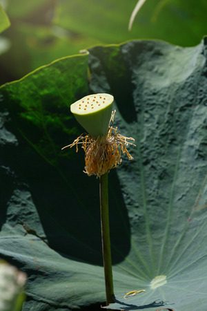 aquatic herb: calyx of water lily or lotus is complemented by the lotus leaf and hi contrast lighting and flare effect