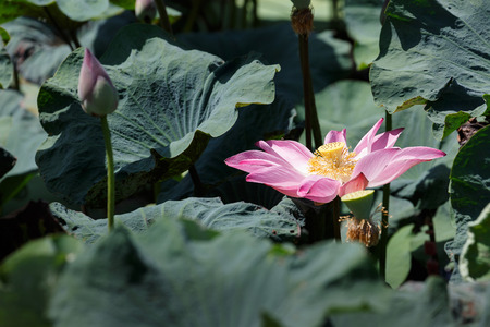 beautiful lotus flower is complemented by the lotus leaf and hi contrast lighting Stock Photo
