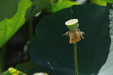 aquatic herb: calyx of water lily or lotus is complemented by the lotus leaf and hi contrast lighting Stock Photo
