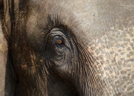 implication: Beautiful Elephant Eye. Asia Elephant, Eyes of the great conveys some sense.
