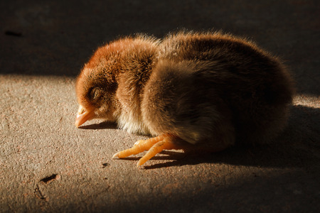Chick sunbathing on the cement floor. To create a warm, with lighting hi contrast dramatic mood. Stock Photo