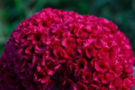 Red cockscomb flower with fluffy fur