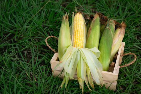 The old organic corn In wooden baskets placed on the grass