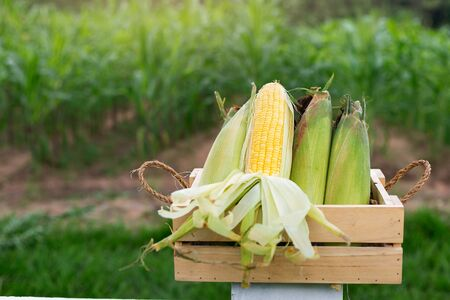 Old organic corn in a wooden basket placed on a white fence And with a backdrop of corn fields Banque d'images