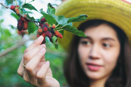 Beautiful young smart farmers picking mulberry fruits, The fruit is ripe.