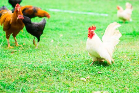 Chicken on green background Stock Photo