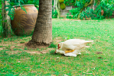 Duck breed in the farm at thailand
