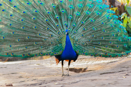 Peacock showing his wide open tail in the Thailand Editorial