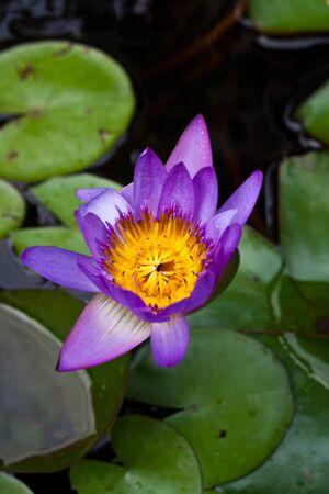 Purple lotus lotus leaf green background. Stock Photo - 15114671