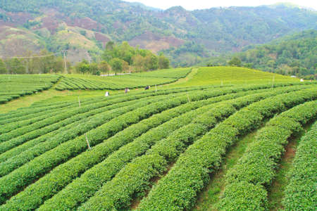Oolong tea plantation in a row on the mountain, Thailand. photo