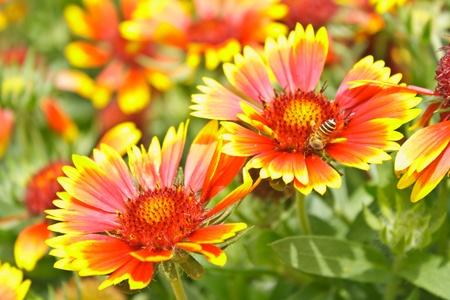 bee swarm: Bee swarm orange red flowers in the garden.