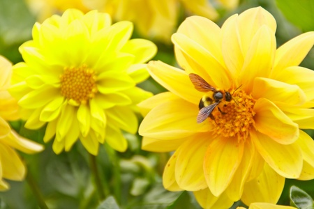 bee swarm: Bee swarm yellow flowers in the garden. Stock Photo