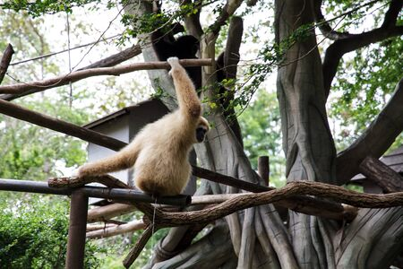 Gibbon in Chiang Mai Zoo, Thailand. photo
