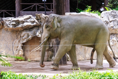 power giant: Elephant in the Chiang Mai Zoo, Thailand.
