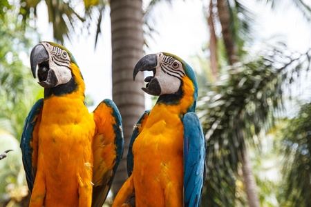 Macaw parrots enjoy playing, Nong Nooch Tropical Garden, Pattaya, Thailand. photo