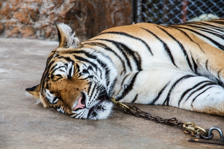 enchain: Tiger in the zoo, Chained no freedom  Stock Photo
