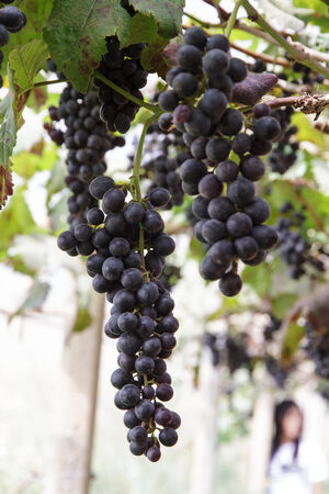 Grapes in the vineyard, the garden of Eden, Chiang Mai, Thailand. photo