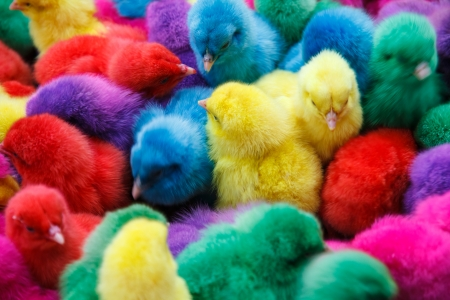 baby chick: Chicks dyed different colors such as red, purple, green, yellow, blue  Stock Photo