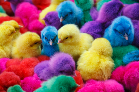 Chicks dyed different colors such as red, purple, green, yellow, blue  Stock Photo