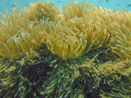 Sea anemone coral on gulf of Thailand. photo