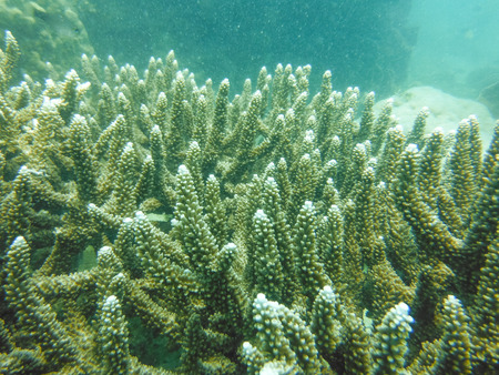 Stag horn coral on gulf of Thailand. Stock Photo - 28378156