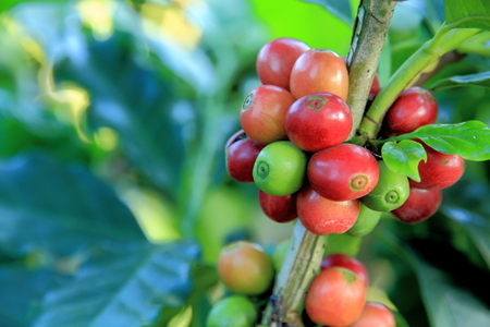 Coffee beans on tree in coffee plantation.