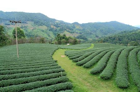 Tea plantation on mountain at north Thailand.