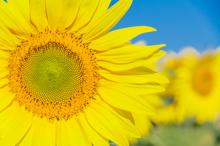 Sunflower and blue sky, Chiang Mai, Northern Thailand. photo