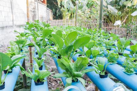 coronarium: Chrysanthemum coronarium and Chinese cabbage and Coriander planting with Water Hydroponics system.
