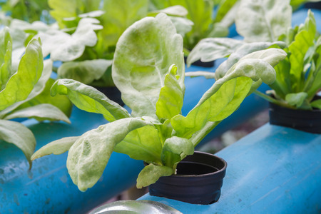 coronarium: Chrysanthemum coronarium vegetable planting with Water Hydroponics system.