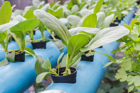 var: Chinese cabbage or Brassica chinensis var. chinensis planting Water Hydroponics.