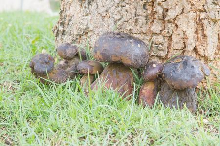 call of nature: Bolete mushroom in nature, Thailand call Tap Tao mushrooms. Scientific name Thaeogyroporus porentosus (berk. ET. Broome )