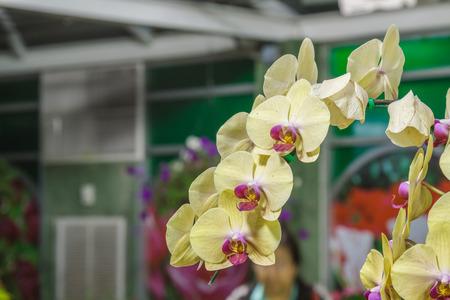 orchidaceae: Paphiopedilum orchidaceae Binomial name Paphiopedilum gratrixianum (Mast.) Guillaumin.