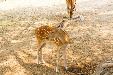 Deer in Chiang Mai zoo at Chiang Mai, Thailand.