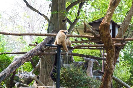 Gibbon in the Chiang Mai Zoo, Chiang Mai, Thailand.